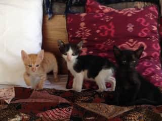 Quixote, Penelope and Bagheera: fostered in Bali