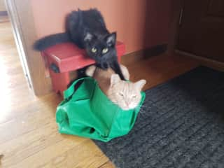 Rescue/Barn Kitties; Kahvi Bean and Willard. Always Playing and finding bags to hide in!