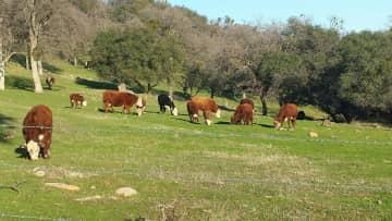 Cattle next door