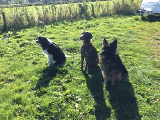 Morph the German Shepherd, Bentley the German Pointer and Charlie the Border Collie, all part time lodgers and good friends.