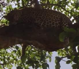 leopard resting in Kenya