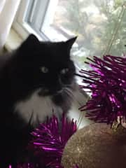 My cat Will. He loves Christmas trees, real and fake!