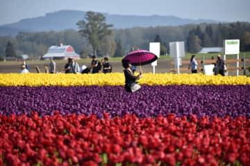 Tulip fields Washington state