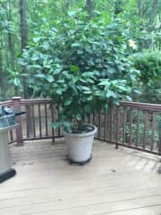 Hibiscus tree I grew from 20 inches!