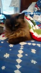 Bella is a chocolate Siamese and he gets cold sometimes and wants under the blankets.