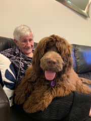 Humphrey a 7 month old Labradoodle