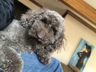 Our mini poodle Joey