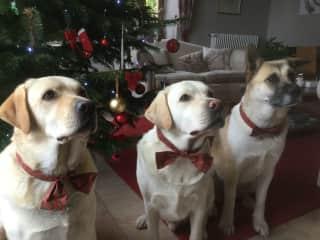 Christmas dogs !