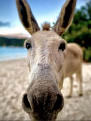 I used to live on St John in the Virgin Islands. Fun fact, there are more donkeys than people on the island.
