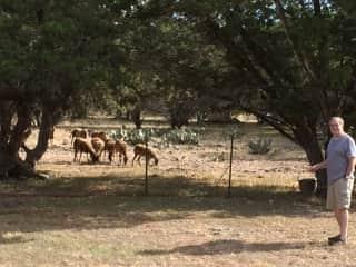 Bill feeding the sheep in Texas