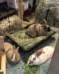 My 3 house rabbits Mick, Quinn and Poppy! They are a huge part of my heart!