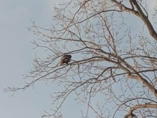 Bald eagle sightings almost daily