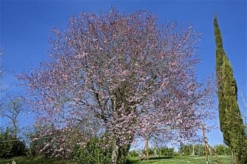 Prunus early spring