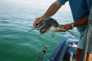 Saving a turtle