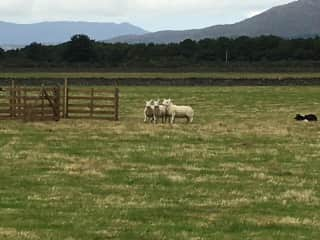 Recent trip to Scotland, attending Sheep Dog Trials