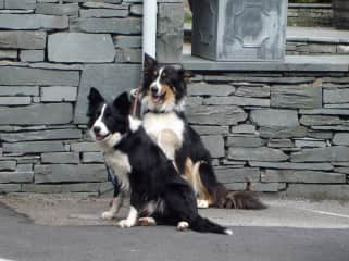 2 english boarder collies after sheep hearding in the UK