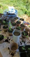 I have a serious green thumb. I germinated close to 30 plants.