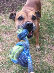 Chevy is a Staffordshire Bull Terrier and he really likes to play tug-o-war