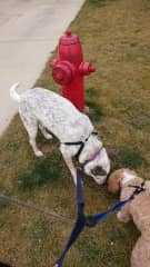 My dog, Callisto, on a dog walk with me and a client's dog.
