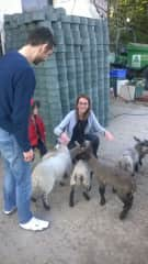 Charlotte with lambs on holiday in Devon