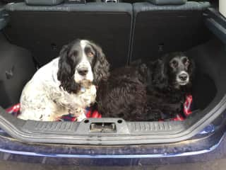 Lyla and Bridget waiting patiently in my car boot to go for a long walk. Two housesits so far for them