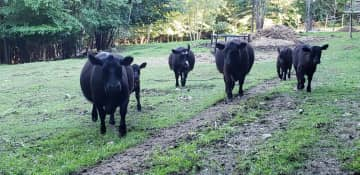 Gentle Lowline Angus reach about 4' at the shoulder.  We currently have a herd of six - three cows and their calves born spring 2021