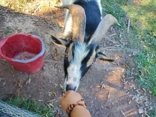 Thorntan  giving me good morning licks.