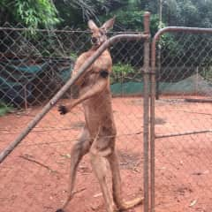 Angry Roo in Broome