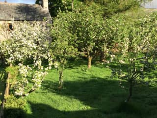 The back garden with apple trees in bloom