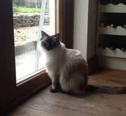 The very beautiful Llew - a most majestic Ragdoll cat