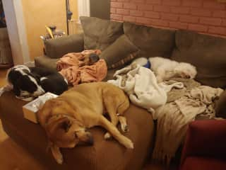Our dogs Tallulah and Chewie with 2 foster houseguests