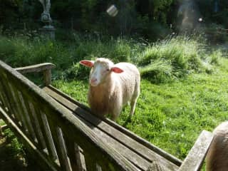 One of our two sheep