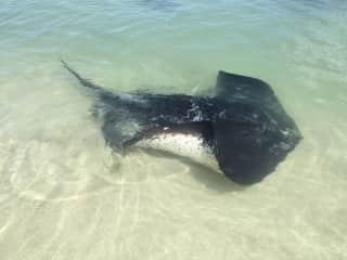 Hamlin Bay stingrays ... we love the natural environment!