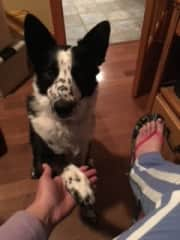 Our border collie after a nail trim