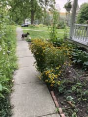 Jemma dog at home, supervising my work in the flower beds.