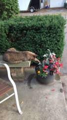 Oscar enjoying the flowers