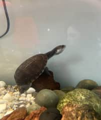 My housemate's long necked turtle and my reflection. I look after 4 turtles when Joni is away visiting his family.