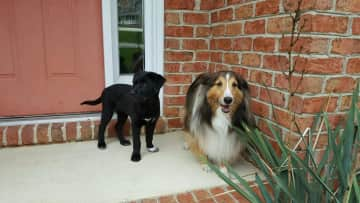 Two of our fur babies in Summer 2017. We sadly had to say goodbye to our Sheltie, Beau, in June 2018. Kaia is my daughter's dog, but such a pleasure to have around!