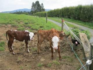 The three calves in New Zealand