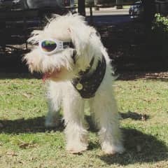 Blaze is Albino and wears Doggles in the sun