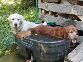 THS friends Tug and Rumi cooling off after a long walk in the woods