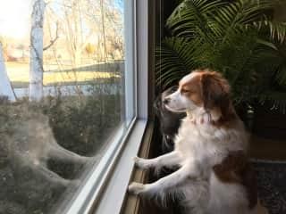 Nina keeping tabs on neighbors:)