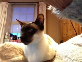 Bobo chocolate point siamese 10 yrs old nervous of new people.