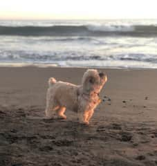 Bella at the Beach - it's her happy place!