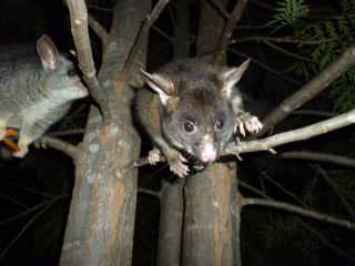 The possums at feeding time!