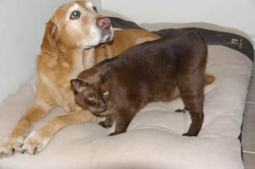 our labrador, Toby & one of our Burmese, Baci.