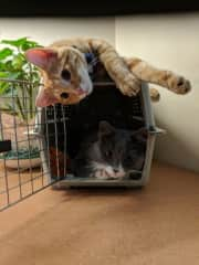 Sammy and Taj hanging out with the cat carrier