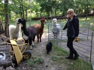 Sue and the llamas