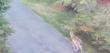 Deer and bunnies are often seen around the house