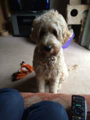 My friend's Goldendoodle asking me to play.